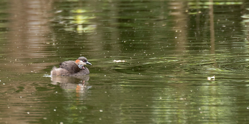 Madagascar Grebe, female with chick