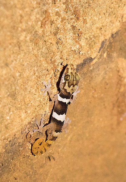 Big-headed Gecko, Paroedura picta