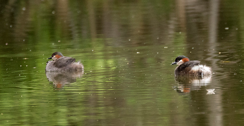 Madagascar Grebe, male and female with chick
