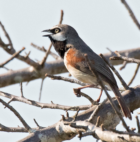 Red-shouldered Vanga, singing male