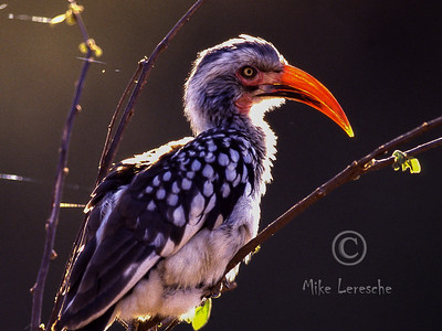 (R 458) Red-billed Hornbill