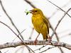 (R 816) Golden Weaver
