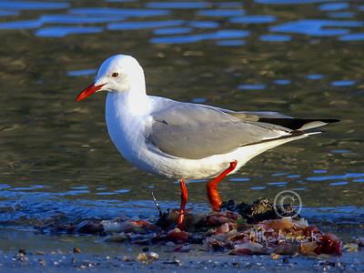 (R 316) Hartlaub's Gull (N.br)