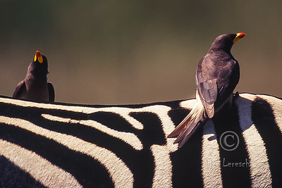 (R 771) Yellow-billed Oxpecker
