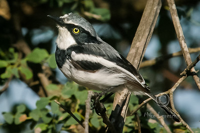 (R 701) Chinspot Batis (f)