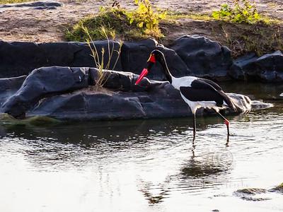 R 088 Saddle-billed Stork