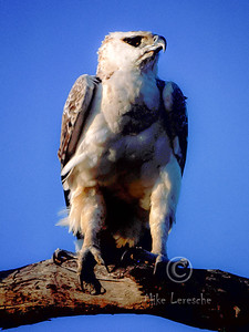 (R 141) African Crowned Eagle (Juv)