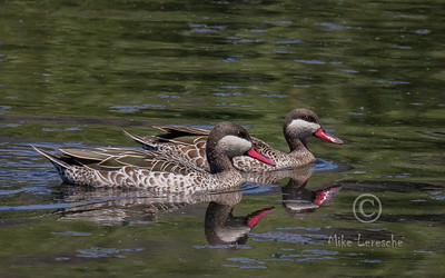 R 108 Red-billed Teal