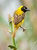 (R815) Lesser Masked Weaver