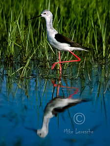(R 295) Black-winged Stilt