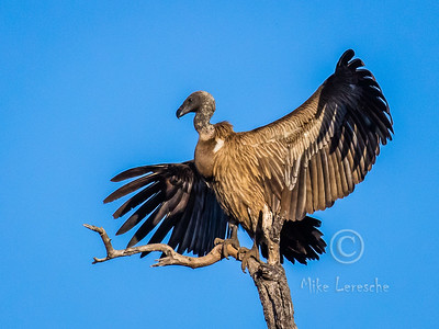 R 123 (African) White-backed Vulture