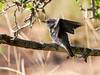 (R 689) Spotted Flycatcher