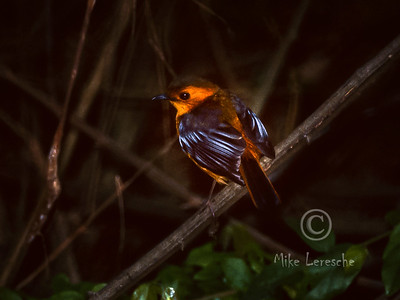 (R 600) Red-capped Robin-chat (Natal Robin)