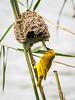 (R 817) Yellow Weaver