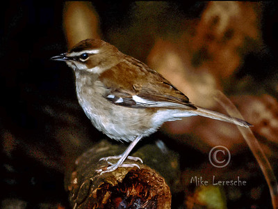 (R616) Brown Scrub-robin