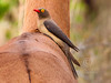 (R 772) Red-billed Oxpecker