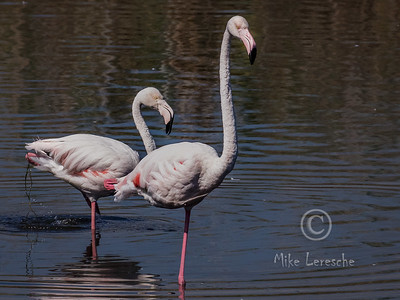 (R96) Greater Flamingo