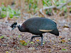 (R 204) Crested Guineafowl