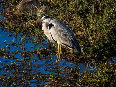 R 062 Grey Heron