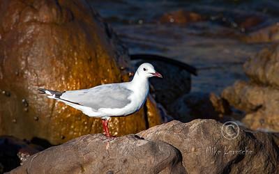 (R 316) Hartlaub's Gull (br)