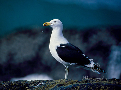 (R 312) Cape (Kelp) Gull