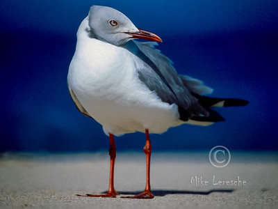 (R 315) Grey-headed Gull