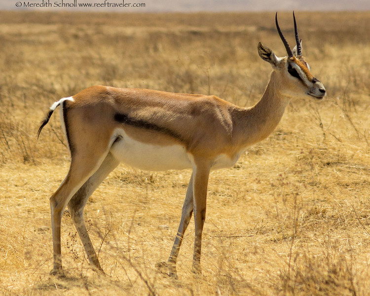 A Thompson's Gazelle in Ngorongoro Crater