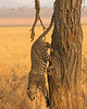 A Leopard Descends in Tarangire National Park