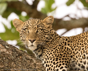 Portrait of a Leopard in Serengeti