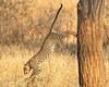 A Leopard Leaps from a Tree in Tarangire National Park
