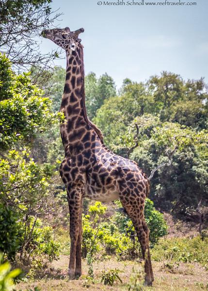 Giraffe at Arusha National Park