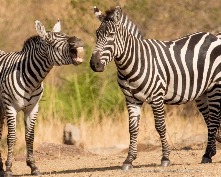 Laughing Zebra in North Serengeti