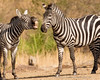 Laughing Zebra in North Serengeti
