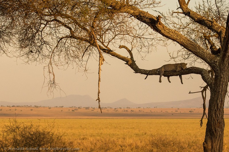 A Leopard Napping at Sunset in Tarangire National Park