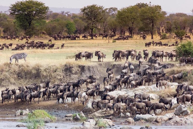 The Great Migration of Wildebeest in Northern Serengeti
