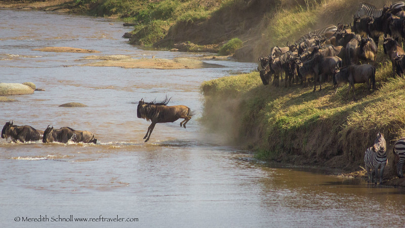 Wildebeest in Mid-Air in the northern Serengeti