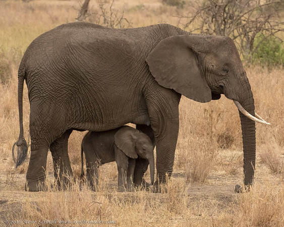 Mother and Calf Elephants in Serengeti