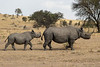 Black Rhinoceros - Mother and Calf