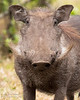 A Warthog in Arusha National Park