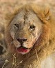 Male Lion After Breakfast in Central Serengeti