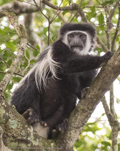 Colubus Monkey at Arusha National Park