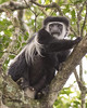Colubus Monkey at Arusha National Park