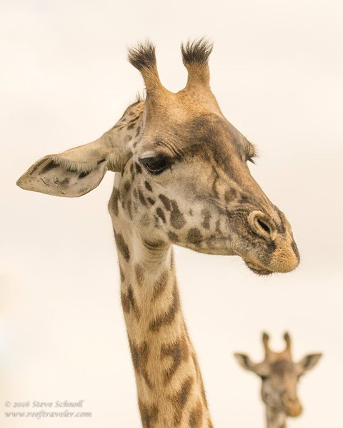 Giraffes at Arusha National Park