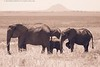 Elephants Under the Shadow of Kilimanjaro in Tarangire