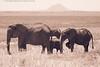 Elephants Under the Shadow of Kilimanjaro in Tarangire
