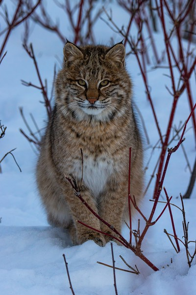 Figure 4. A bobcat (Lynx rufus) in the Superior National Forest