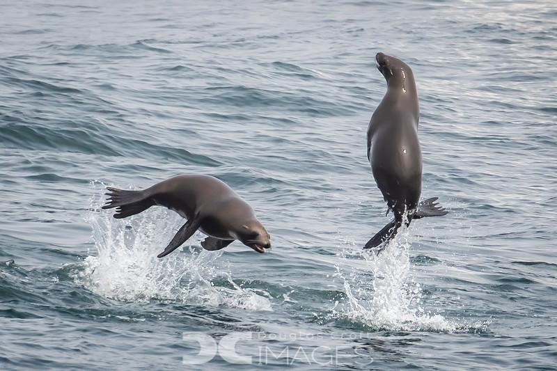 Playful California Sea Lions