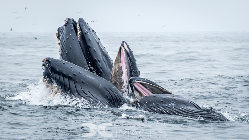 Lunge-feeding Humpbacks