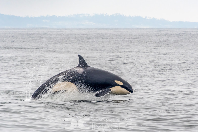 Killer Whale on the Hunt