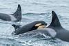 Off-shore Killer Whales